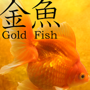 Gold Fish 3D Live Wallpaper