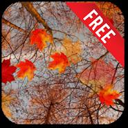 Осенний клен Live Wallpaper