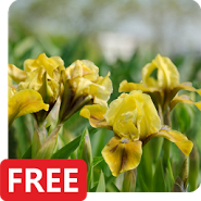 Iris Flowers Live Wallpaper