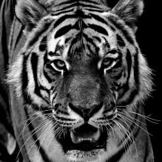 Black_Tiger_366